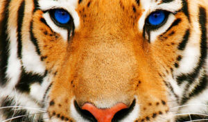 10 фактов про тигров.